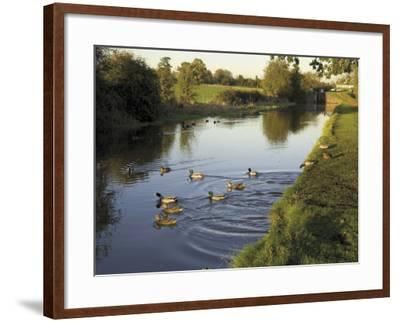 Ducks Swimming in the Worcester and Birmingham Canal, Astwood Locks, Hanbury, Midlands-David Hughes-Framed Photographic Print
