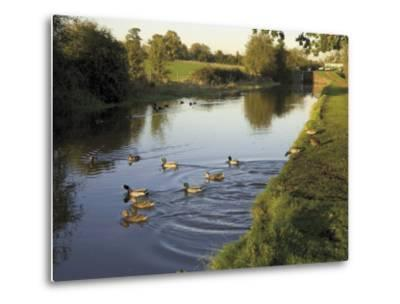 Ducks Swimming in the Worcester and Birmingham Canal, Astwood Locks, Hanbury, Midlands-David Hughes-Metal Print