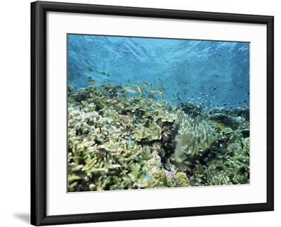 Shallow Top of the Reef is Nursery for Young Fish, Sabah, Malaysia, Southeast Asia-Lousie Murray-Framed Photographic Print