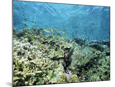 Shallow Top of the Reef is Nursery for Young Fish, Sabah, Malaysia, Southeast Asia-Lousie Murray-Mounted Photographic Print