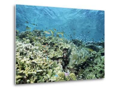Shallow Top of the Reef is Nursery for Young Fish, Sabah, Malaysia, Southeast Asia-Lousie Murray-Metal Print