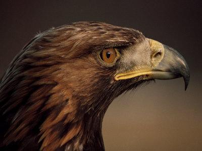 Golden Eagle, Highland Region, Scotland, United Kingdom-Roy Rainford-Framed Photographic Print