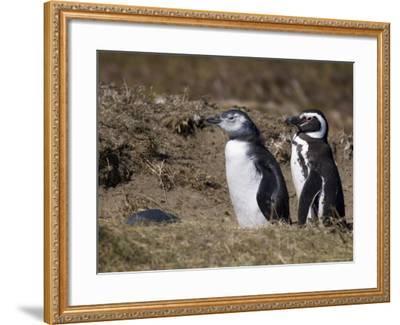 Magellanic Penguin Colony, Seno Otway, Patagonia, Chile, South America-Sergio Pitamitz-Framed Photographic Print