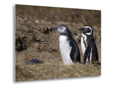 Magellanic Penguin Colony, Seno Otway, Patagonia, Chile, South America-Sergio Pitamitz-Metal Print