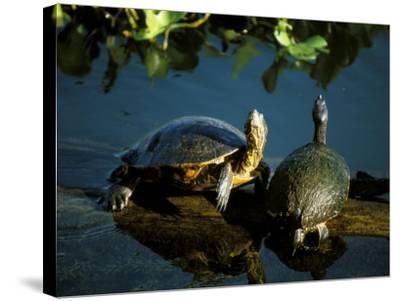 Mesoamerican Slider Turtles, River Chagres, Soberania Forest National Park, Panama-Sergio Pitamitz-Stretched Canvas Print