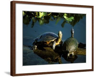 Mesoamerican Slider Turtles, River Chagres, Soberania Forest National Park, Panama-Sergio Pitamitz-Framed Photographic Print