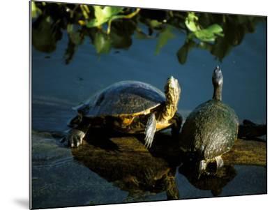 Mesoamerican Slider Turtles, River Chagres, Soberania Forest National Park, Panama-Sergio Pitamitz-Mounted Photographic Print