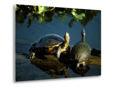 Mesoamerican Slider Turtles, River Chagres, Soberania Forest National Park, Panama-Sergio Pitamitz-Metal Print