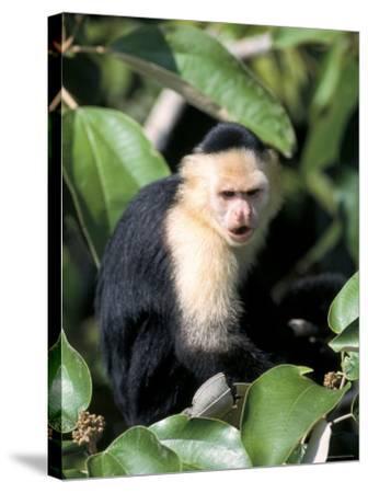 White Faced Capuchine Monkey (Cebus Capucinus), Soberania National Park, Gamboa, Panama-Sergio Pitamitz-Stretched Canvas Print