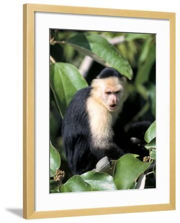 White Faced Capuchine Monkey (Cebus Capucinus), Soberania National Park, Gamboa, Panama-Sergio Pitamitz-Framed Photographic Print