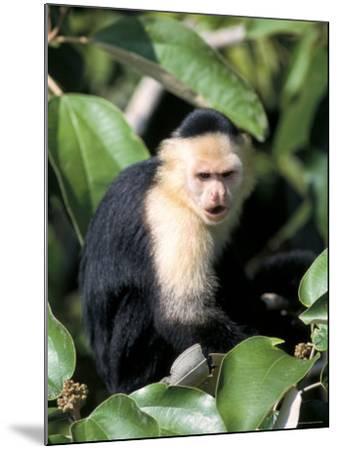 White Faced Capuchine Monkey (Cebus Capucinus), Soberania National Park, Gamboa, Panama-Sergio Pitamitz-Mounted Photographic Print