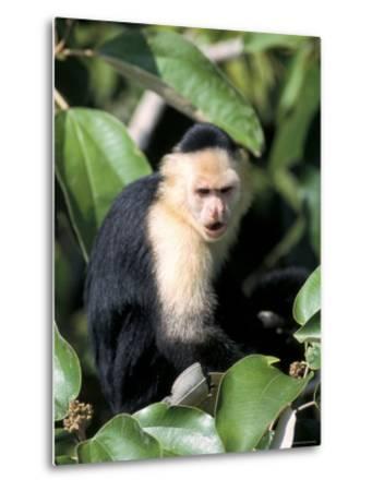 White Faced Capuchine Monkey (Cebus Capucinus), Soberania National Park, Gamboa, Panama-Sergio Pitamitz-Metal Print