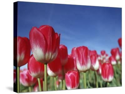 Tulipa Species, Alkmaar, Holland (Netherlands)-Thorsten Milse-Stretched Canvas Print