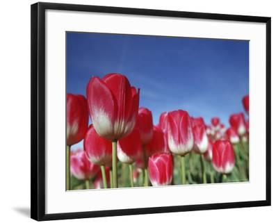 Tulipa Species, Alkmaar, Holland (Netherlands)-Thorsten Milse-Framed Photographic Print