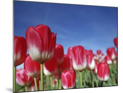 Tulipa Species, Alkmaar, Holland (Netherlands)-Thorsten Milse-Mounted Photographic Print