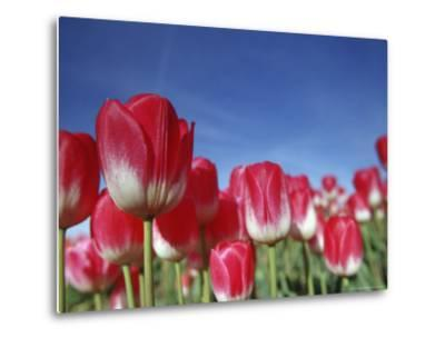 Tulipa Species, Alkmaar, Holland (Netherlands)-Thorsten Milse-Metal Print