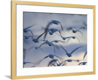 Snow Goose (Anser Caerulescens), Bosque Del Apache, Socorro, New Mexico, USA-Thorsten Milse-Framed Photographic Print