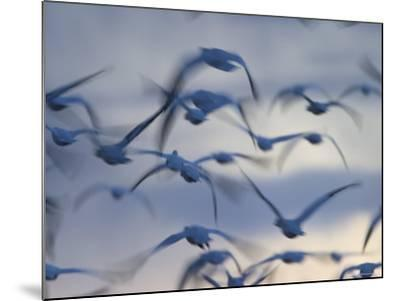 Snow Goose (Anser Caerulescens), Bosque Del Apache, Socorro, New Mexico, USA-Thorsten Milse-Mounted Photographic Print
