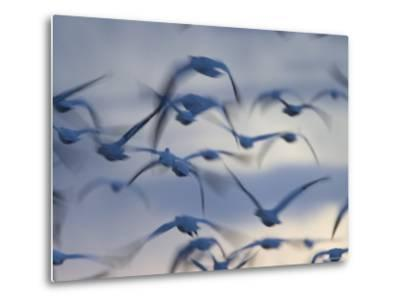 Snow Goose (Anser Caerulescens), Bosque Del Apache, Socorro, New Mexico, USA-Thorsten Milse-Metal Print