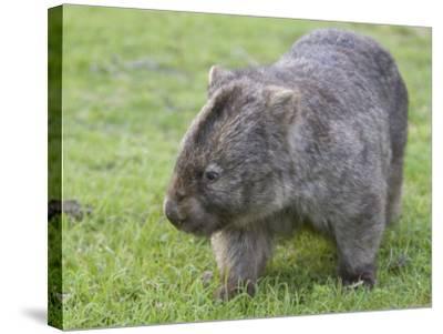 Wombat (Vombatus Ursinus), Wilsons Promontory National Park, Victoria, Australia-Thorsten Milse-Stretched Canvas Print