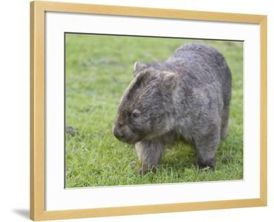Wombat (Vombatus Ursinus), Wilsons Promontory National Park, Victoria, Australia-Thorsten Milse-Framed Photographic Print