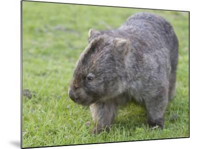Wombat (Vombatus Ursinus), Wilsons Promontory National Park, Victoria, Australia-Thorsten Milse-Mounted Photographic Print