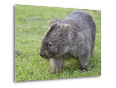 Wombat (Vombatus Ursinus), Wilsons Promontory National Park, Victoria, Australia-Thorsten Milse-Metal Print