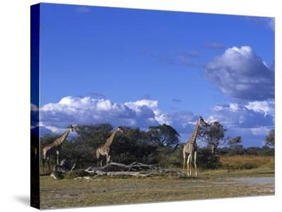 Giraffe, Giraffa Camelopardalis, Moremi Wildlife Reserve, Botswana, Africa-Thorsten Milse-Stretched Canvas Print