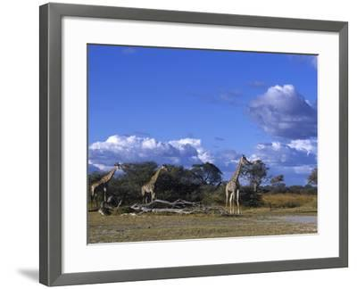 Giraffe, Giraffa Camelopardalis, Moremi Wildlife Reserve, Botswana, Africa-Thorsten Milse-Framed Photographic Print