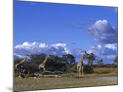 Giraffe, Giraffa Camelopardalis, Moremi Wildlife Reserve, Botswana, Africa-Thorsten Milse-Mounted Photographic Print