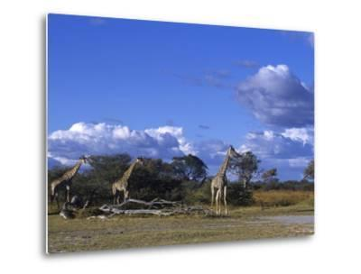 Giraffe, Giraffa Camelopardalis, Moremi Wildlife Reserve, Botswana, Africa-Thorsten Milse-Metal Print