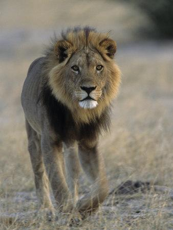 Lion (Panthera Leo), Chobe National Park, Savuti, Botswana, Africa-Thorsten Milse-Framed Photographic Print