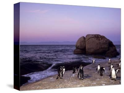 African (Jackass) Penguins, (Sphensiscus Demersus), Cape Town, South Africa, Africa-Thorsten Milse-Stretched Canvas Print