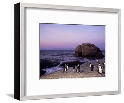 African (Jackass) Penguins, (Sphensiscus Demersus), Cape Town, South Africa, Africa-Thorsten Milse-Framed Photographic Print