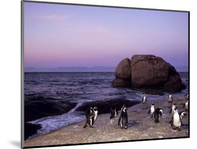 African (Jackass) Penguins, (Sphensiscus Demersus), Cape Town, South Africa, Africa-Thorsten Milse-Mounted Photographic Print