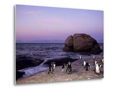 African (Jackass) Penguins, (Sphensiscus Demersus), Cape Town, South Africa, Africa-Thorsten Milse-Metal Print