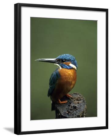 Kingfisher, (Alcedo Atthis), Nrw, Bielefeld, Germany-Thorsten Milse-Framed Photographic Print