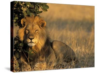 Lion, Panthera Leo, Chobe National Park, Savuti, Botswana, Africa-Thorsten Milse-Stretched Canvas Print