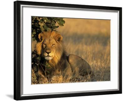 Lion, Panthera Leo, Chobe National Park, Savuti, Botswana, Africa-Thorsten Milse-Framed Photographic Print
