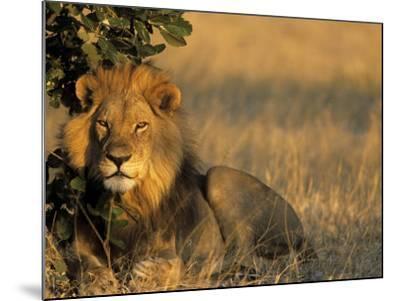 Lion, Panthera Leo, Chobe National Park, Savuti, Botswana, Africa-Thorsten Milse-Mounted Photographic Print