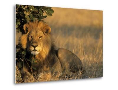 Lion, Panthera Leo, Chobe National Park, Savuti, Botswana, Africa-Thorsten Milse-Metal Print