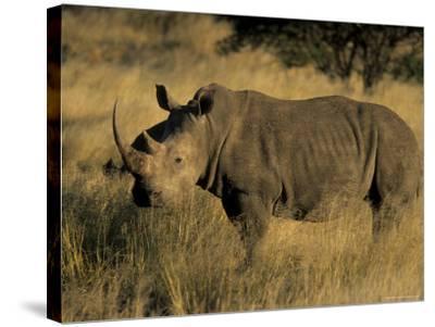 White Rhinoceros, Ceratotherium Simum, Namibia, Africa-Thorsten Milse-Stretched Canvas Print