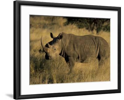 White Rhinoceros, Ceratotherium Simum, Namibia, Africa-Thorsten Milse-Framed Photographic Print