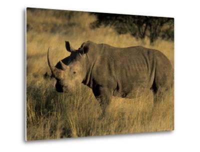 White Rhinoceros, Ceratotherium Simum, Namibia, Africa-Thorsten Milse-Metal Print