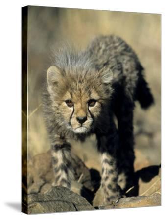 Cheetah Cub, Acinonyx Jubatus, Duesternbrook Private Game Reserve, Windhoek, Namibia, Africa-Thorsten Milse-Stretched Canvas Print