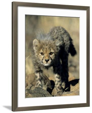 Cheetah Cub, Acinonyx Jubatus, Duesternbrook Private Game Reserve, Windhoek, Namibia, Africa-Thorsten Milse-Framed Photographic Print
