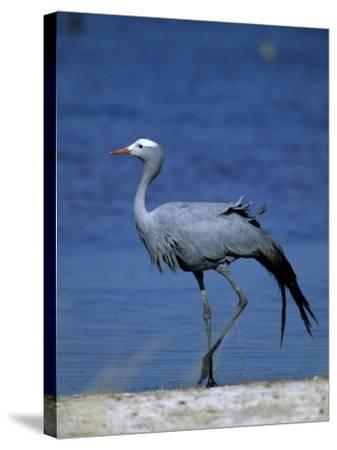 Blue Crane, Anthropoides Paradisea, Etosha National Park, Namibia, Africa-Thorsten Milse-Stretched Canvas Print