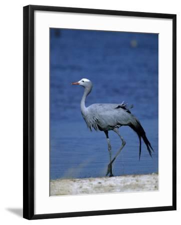 Blue Crane, Anthropoides Paradisea, Etosha National Park, Namibia, Africa-Thorsten Milse-Framed Photographic Print