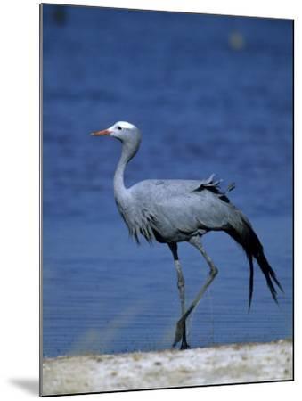 Blue Crane, Anthropoides Paradisea, Etosha National Park, Namibia, Africa-Thorsten Milse-Mounted Photographic Print