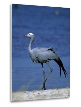 Blue Crane, Anthropoides Paradisea, Etosha National Park, Namibia, Africa-Thorsten Milse-Metal Print